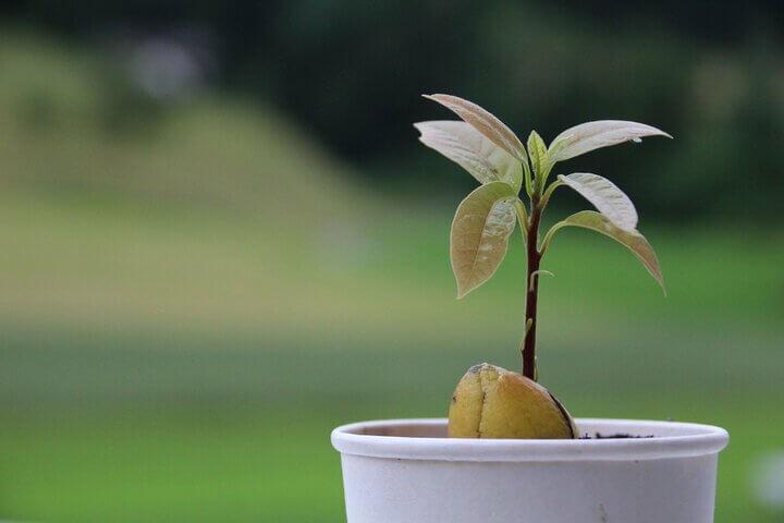 Jak vypěstovat avokádo krok po kroku